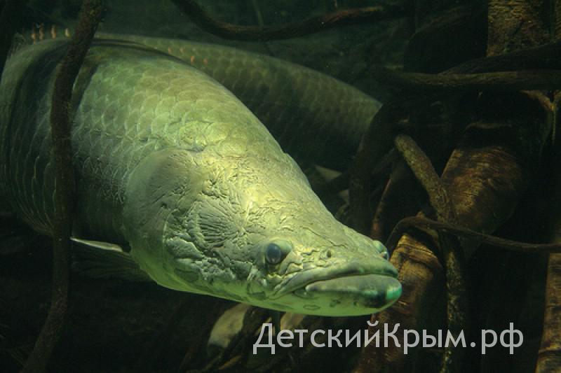 Севастополь аквариум arapaima